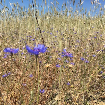 cornflowers_pyrenees