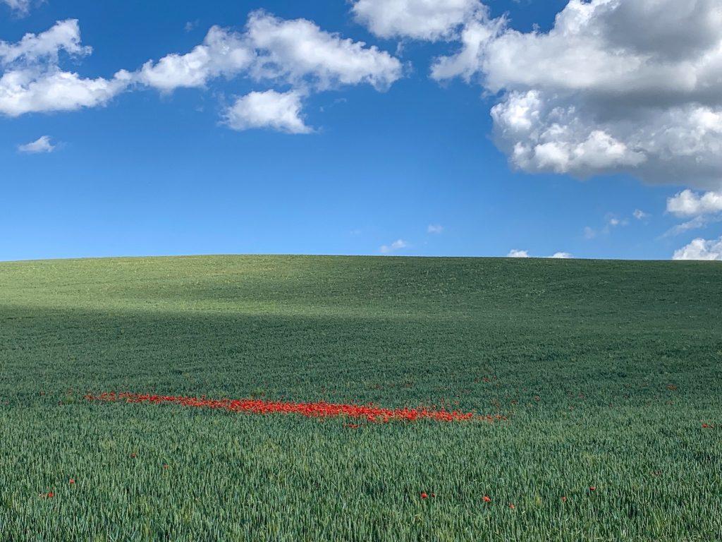 Poppy Field - Camino de Santiago