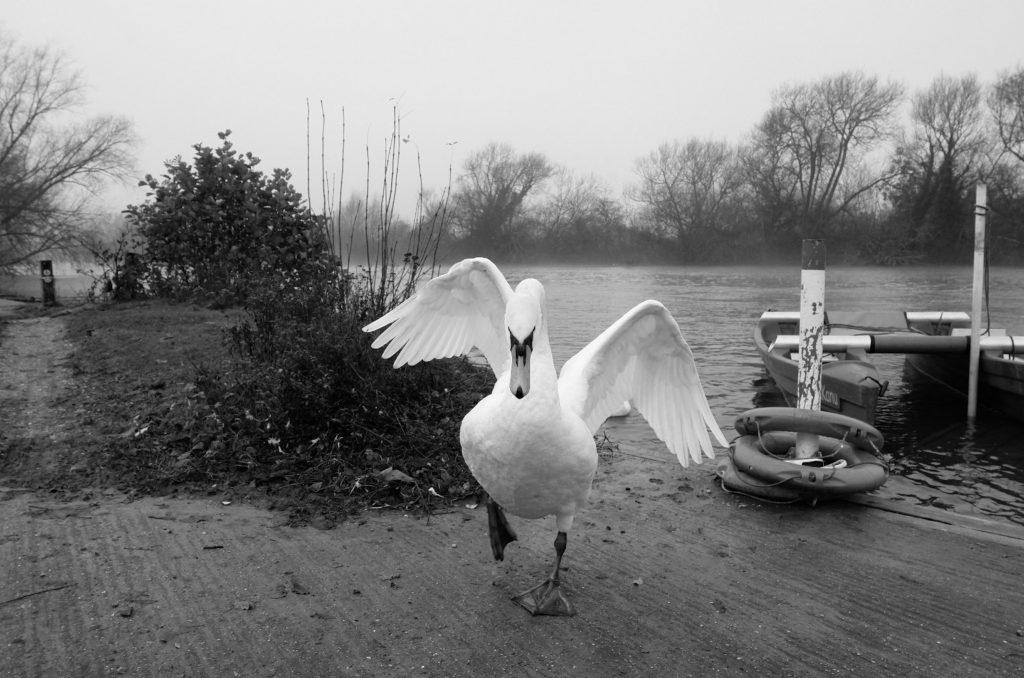Hot Cross Swan