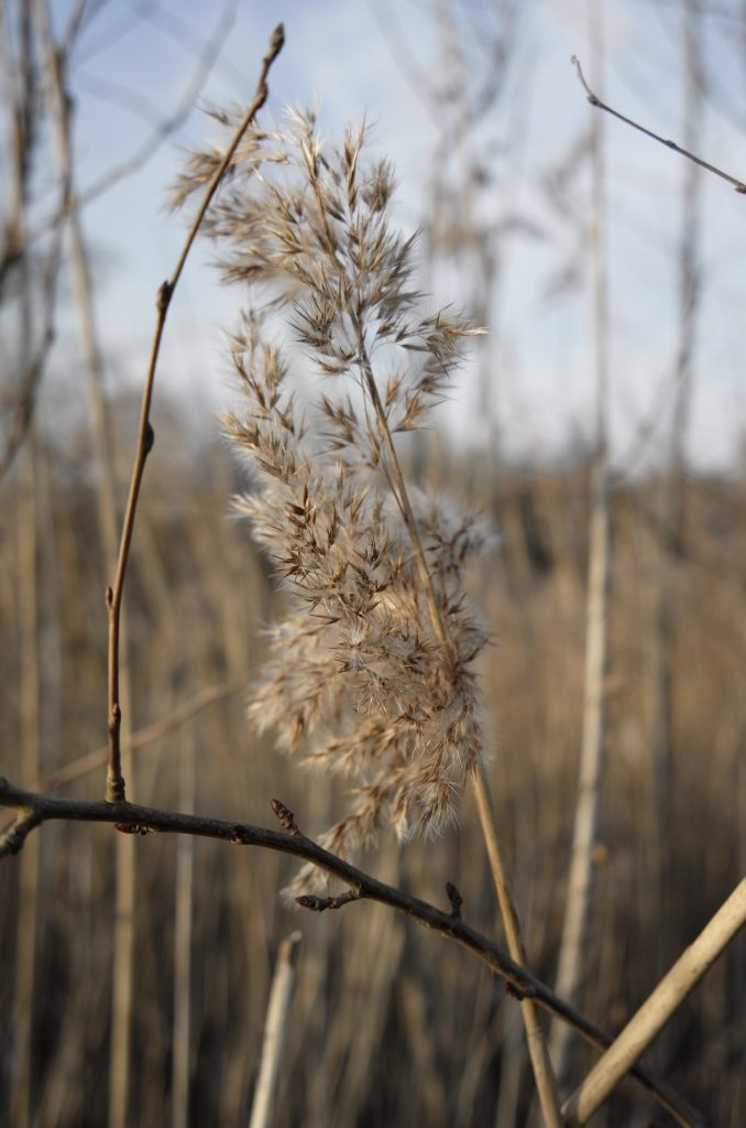 Reed Bed - Thames Path